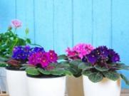 适合阳台的旺运植物有哪些